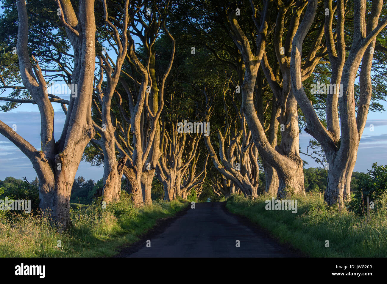 Early morning sunlight on the 'Dark Hedges' - an avenue of ancient trees in County Antrim in Northern Ireland. - Stock Image