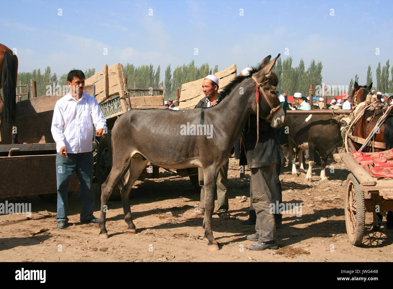 Donkey being appraised by potential purchaser at the Kashgar Sunday market - Stock Image