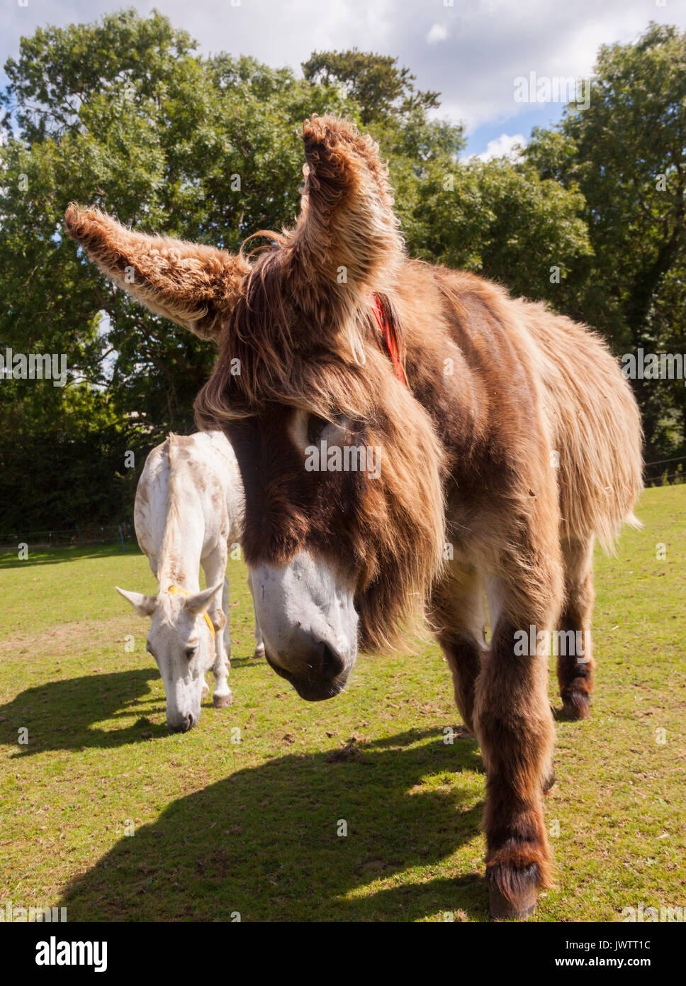 dartanyan-a-long-haired-donkey-at-sidmou