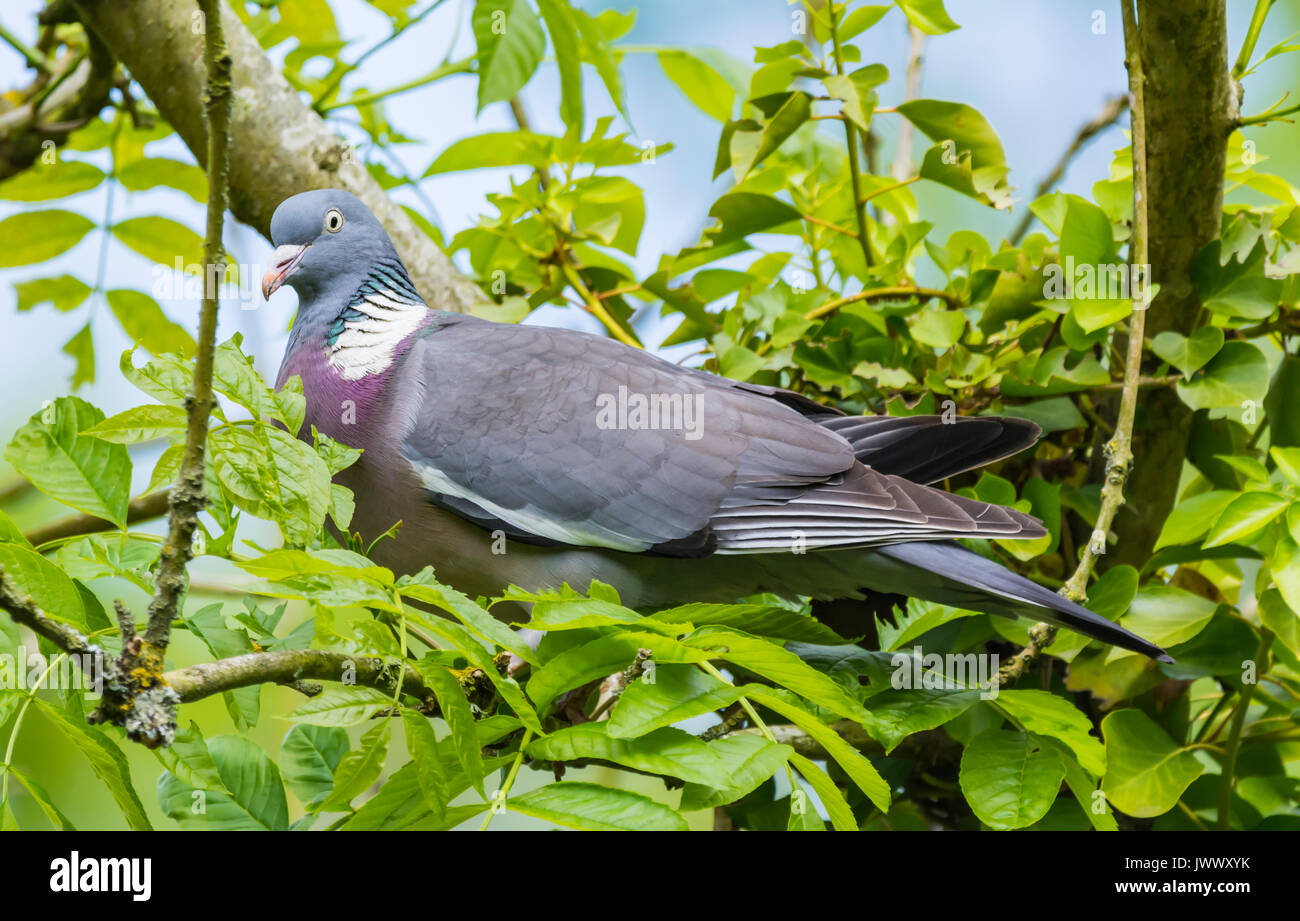 common-woodpigeon-columba-palumbus-perched-in-a-tree-in-the-uk-JWWXYK.jpg
