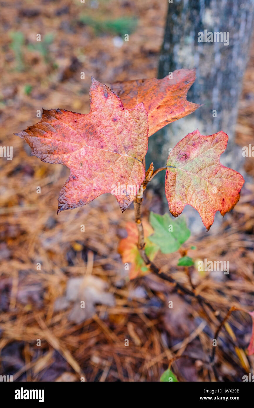 Oak leaves changing color during the autumn season in Central Alabama with a background of pine needles on the forest - Stock Image