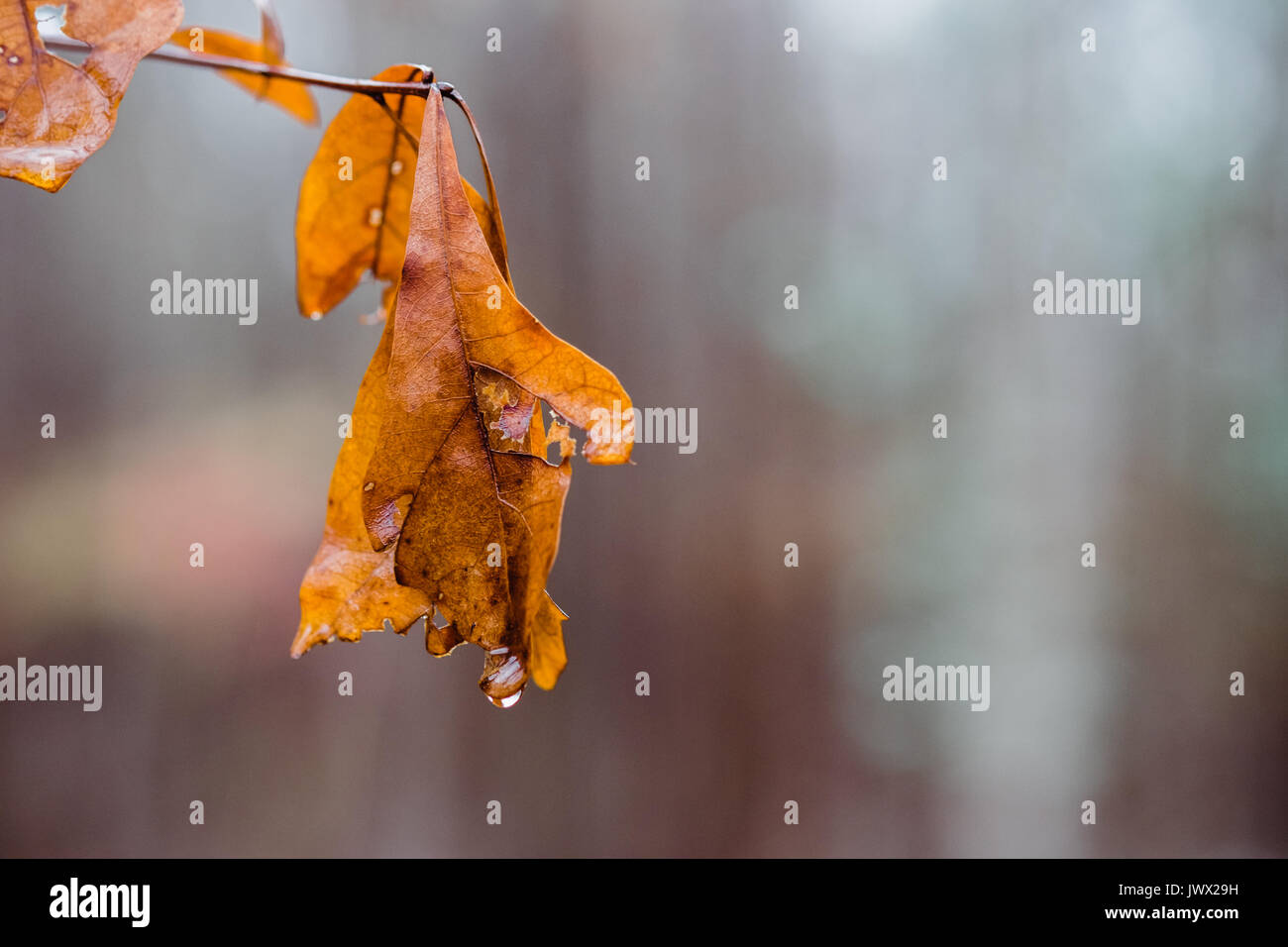 A hanging orange oak leaf with a single drop of water at the tip, after an autumn rain. The leaf is isolated in - Stock Image