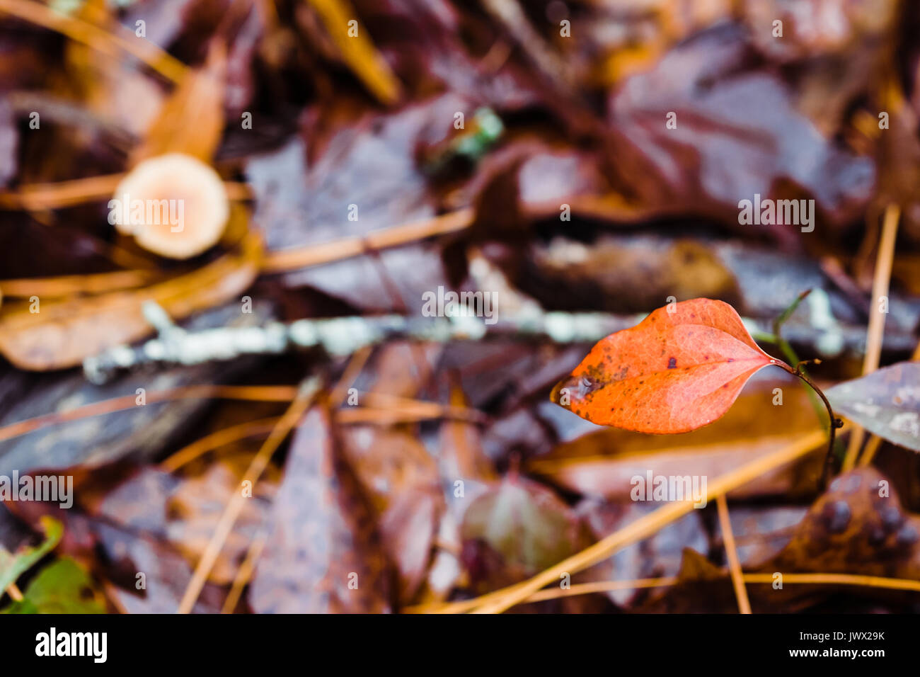 Shallow depth of field with focus on a turning leaf on the forest floor after an autumn rain. Fallen dead leaves - Stock Image