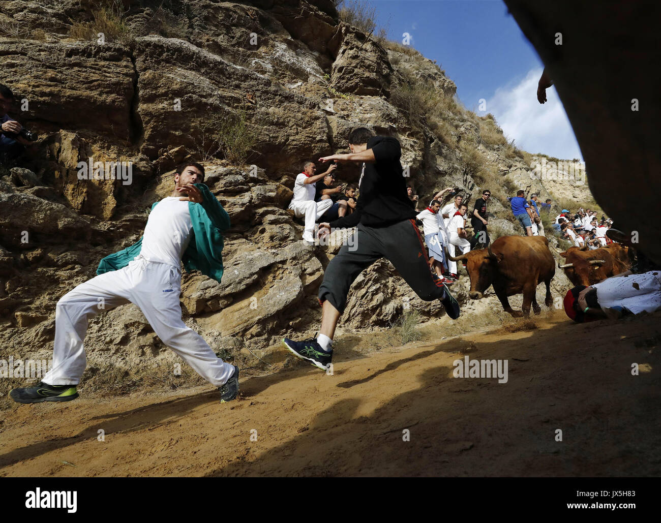 Falces, Navarra, northern Spain, 15 August 2017. Bulls chase runners during the of Pilon bull run held in Falces, - Stock Image