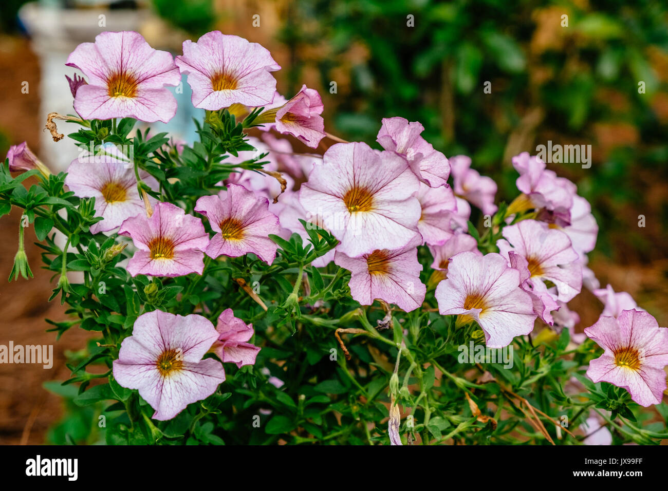 Purple variegated Grandiflora Petunia flowers on display in a summer garden setting. - Stock Image
