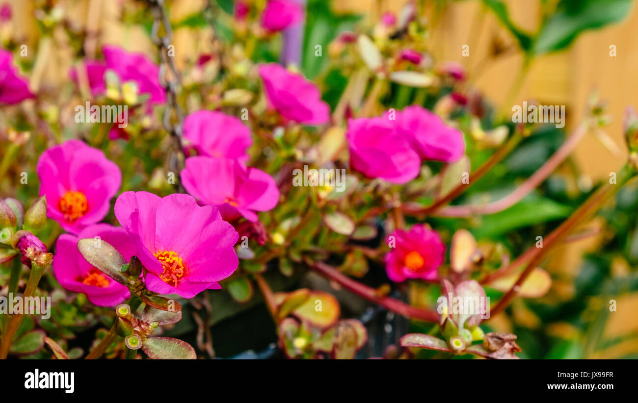 Red Portulaca Rio Grand flowering ground cover in full summer bloom. - Stock Image