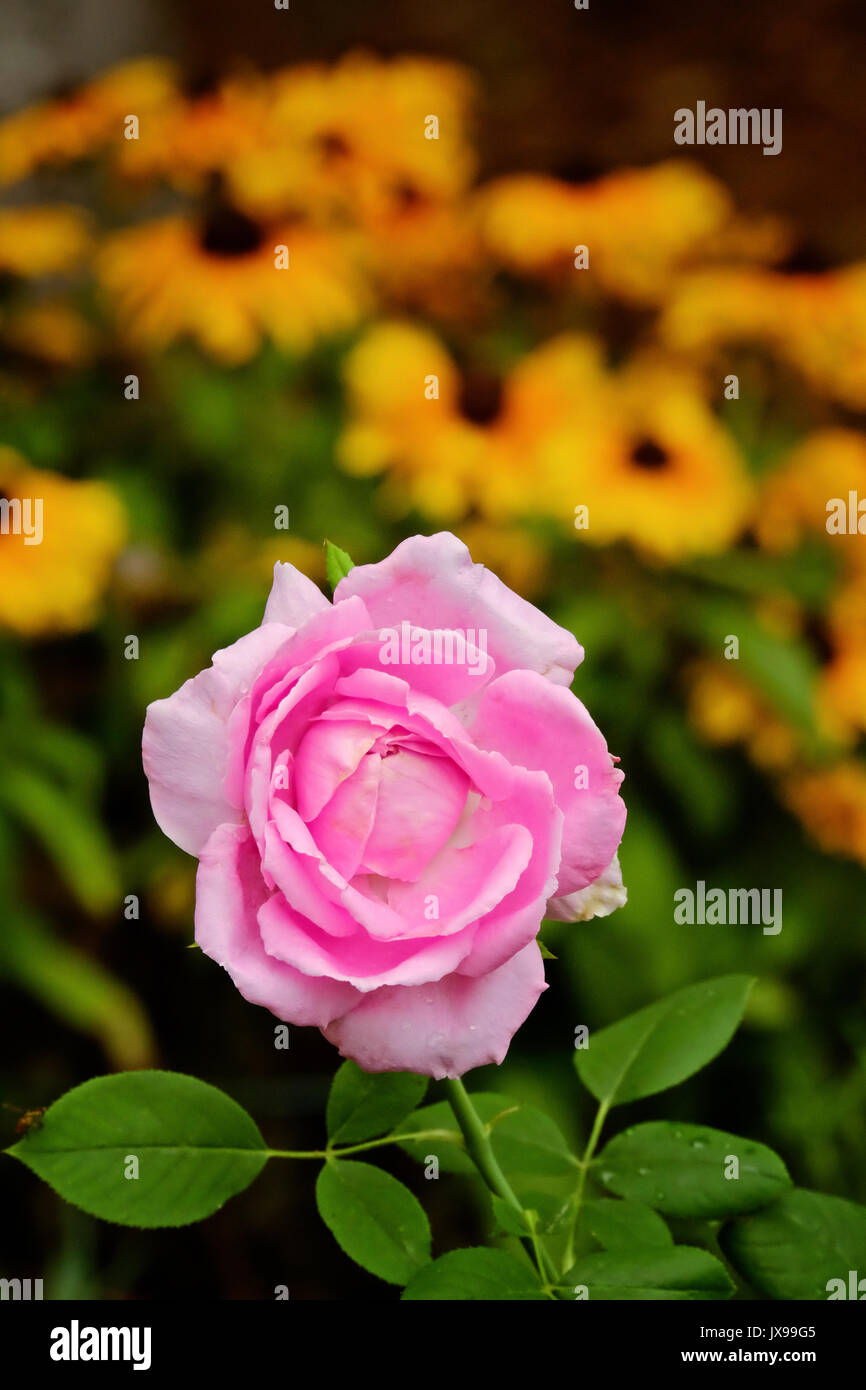 Pink knockout rose, isolated, in full bloom in a summer garden. - Stock Image
