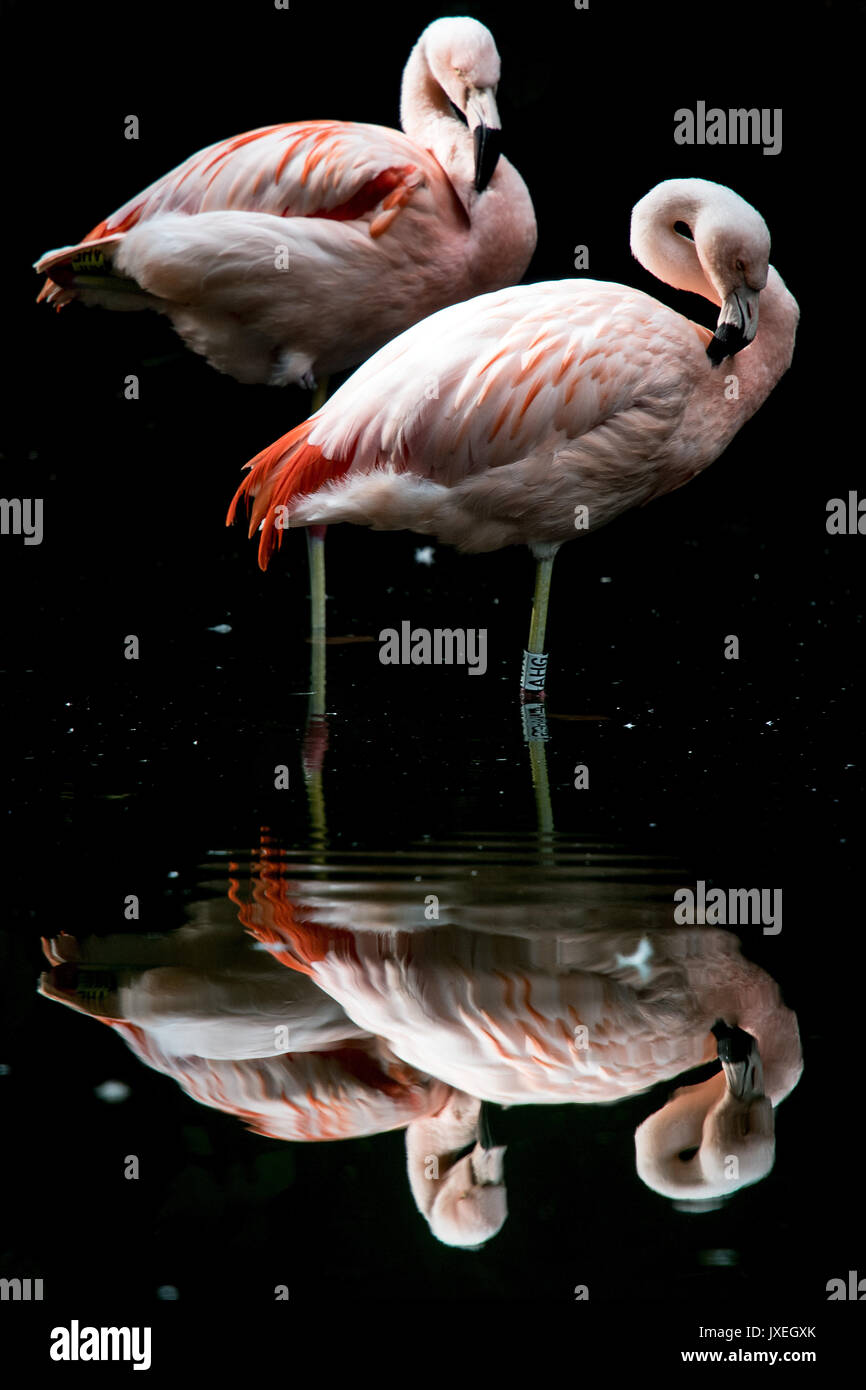 Duisburg, Germany. 16th Aug, 2017. Flamingoes preening in their enclosure at the zoo in Duisburg, Germany, 16 August - Stock Image