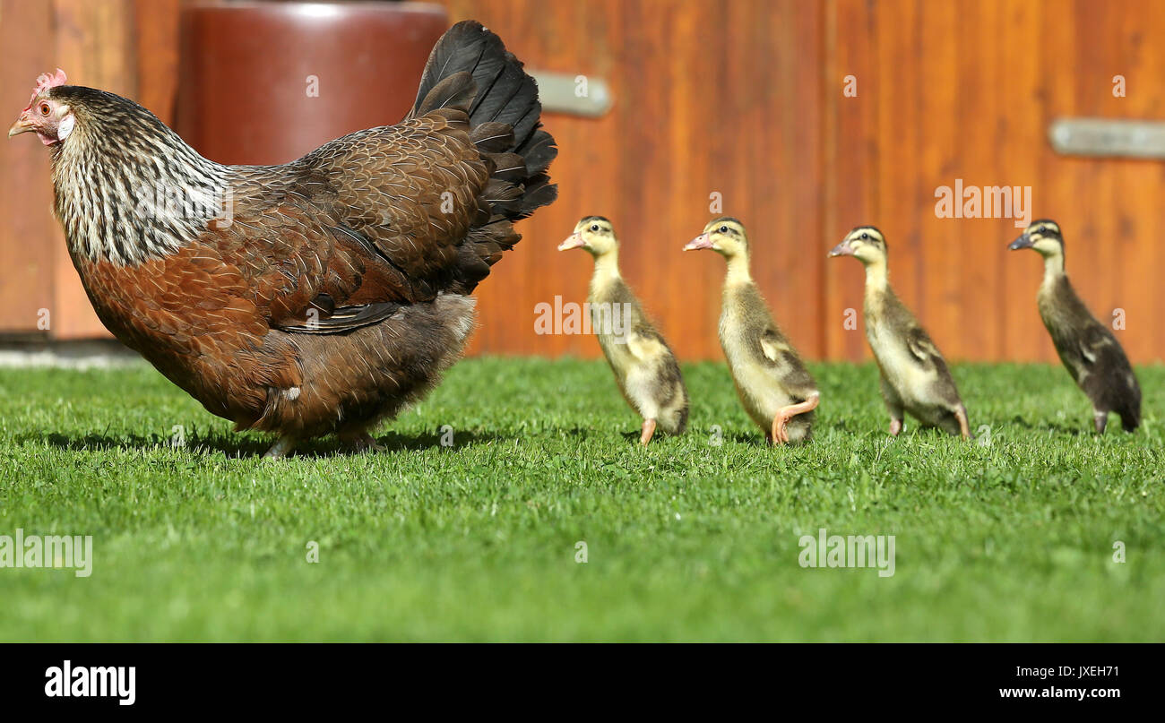 Altheim-Waldhausen, Germany. 16th Aug, 2017. Emma the hen standing with four runner duck chicks in a field in Altheim - Stock Image