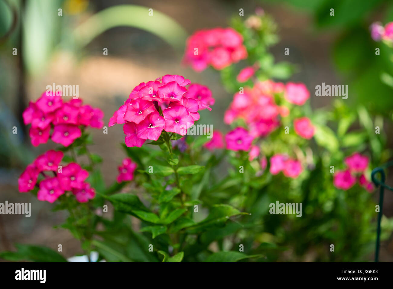 Tall garden phlox plants in a home garden setting. - Stock Image