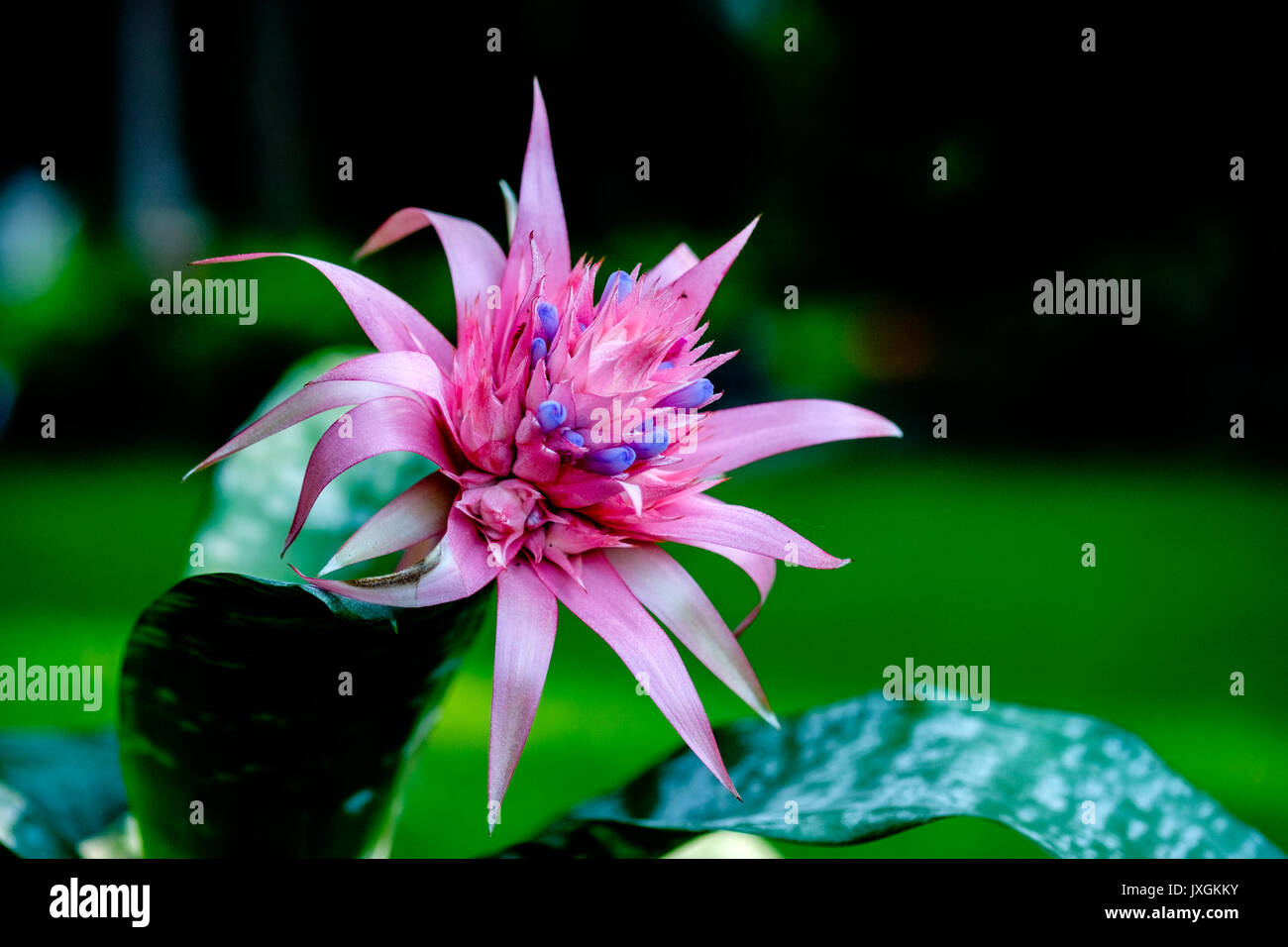 A tropical bromeliad plant in full bloom in a home garden setting. - Stock Image