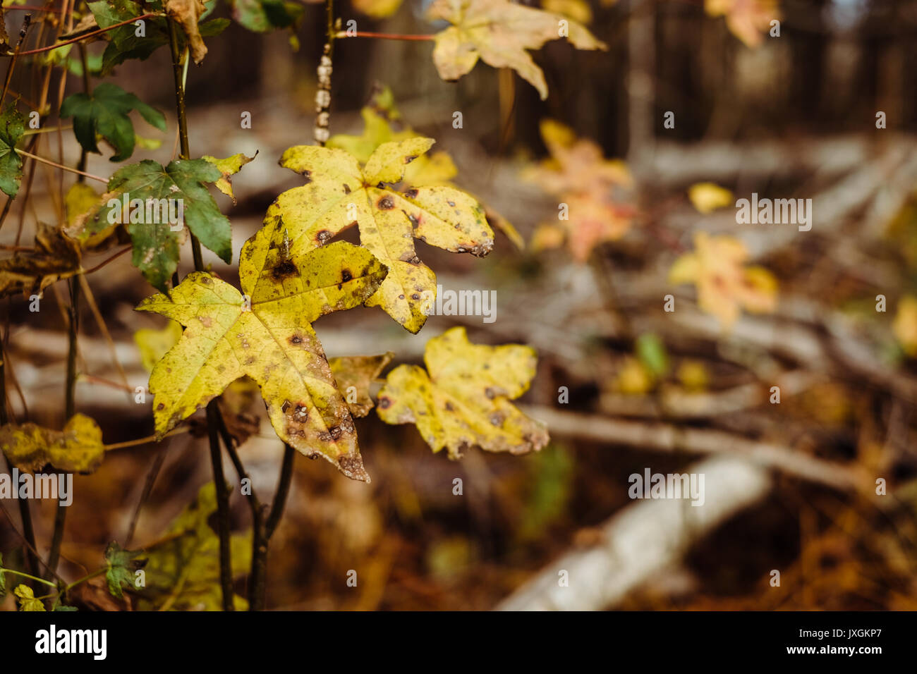 Yellow oak leaves in a dense forest turning color during the autumn season. - Stock Image