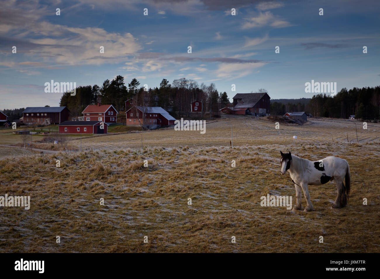 A Tinker horse is standing on a frosty pasture under a cloudy sky in Anundsjoe, Sweden. - Stock Image