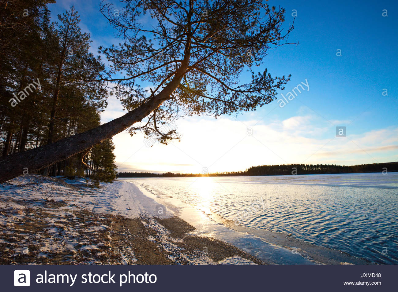 Pine tree growing at the sandy shore of a quiet lake in early winter. - Stock Image