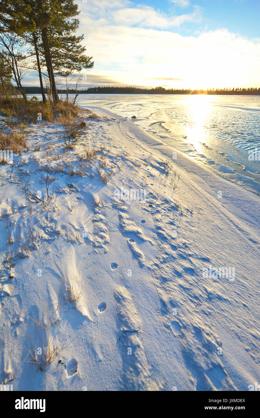 Fox tracks in newly fallen snow are leading along the shore of a forest lake. - Stock Image