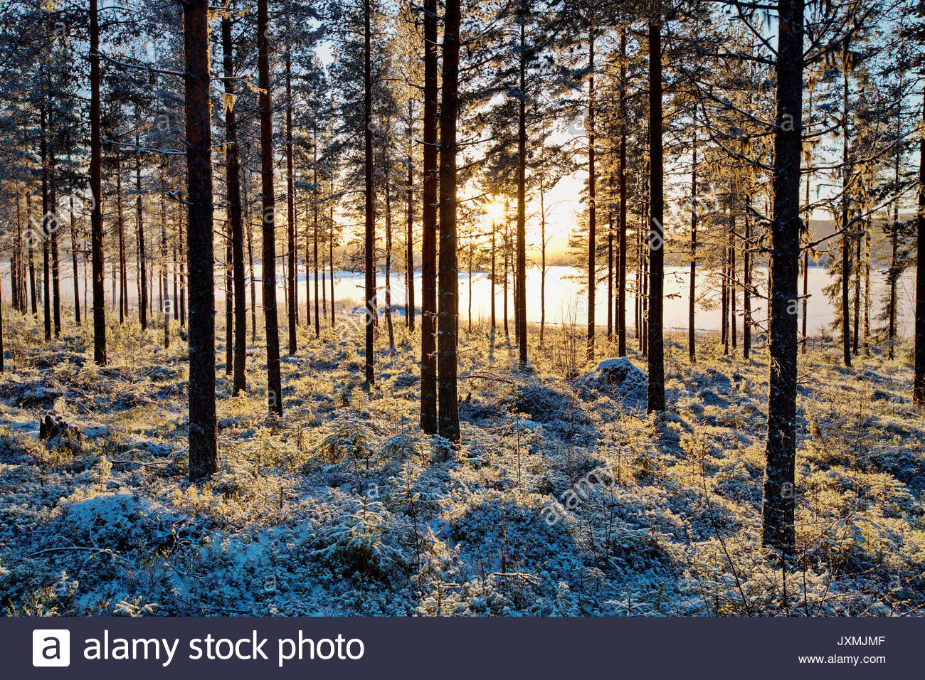 A pine forest is illuminated by the low winter sun at the shore of a frozen lake. - Stock Image