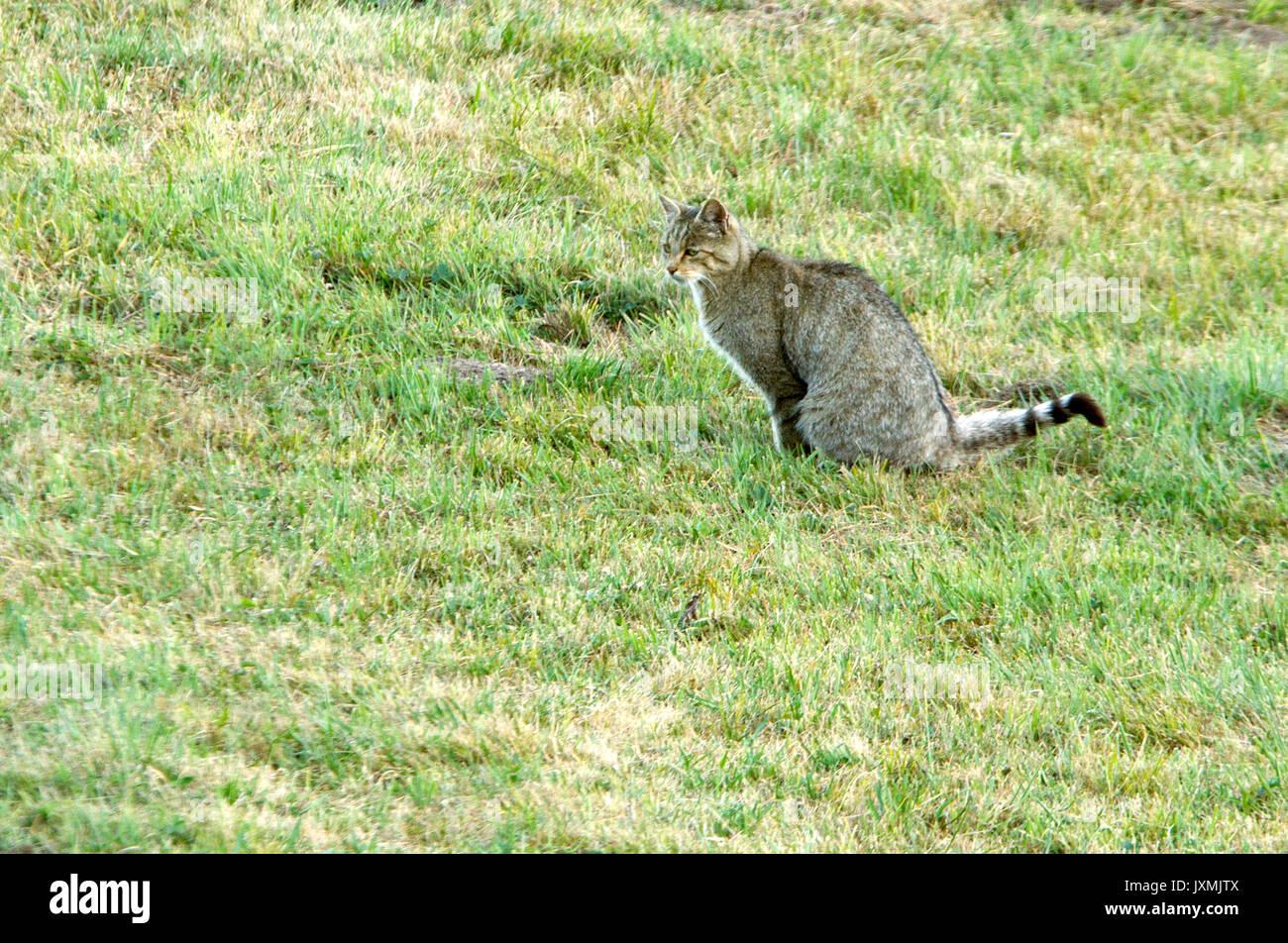 Felis Silvestris European Wildcat Stock Photos & Felis