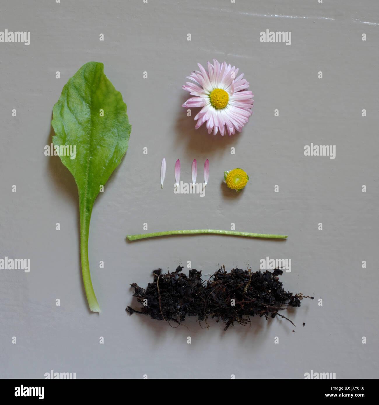 Common Daisy, Bellis perennis taken into pieces. Stock Photo