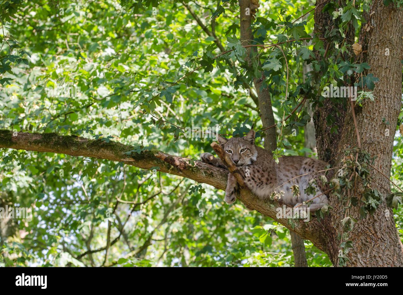 adult lynxs