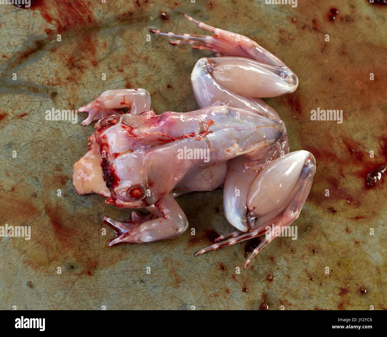 Frog Meat Stock Photos Amp Frog Meat Stock Images Alamy