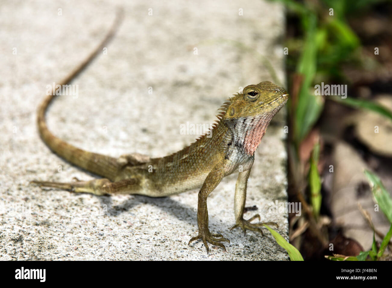 Crested Lizard - Stock Image