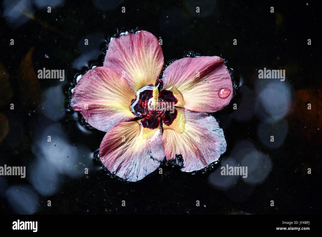 Hibiscus Flower In Water - Stock Image