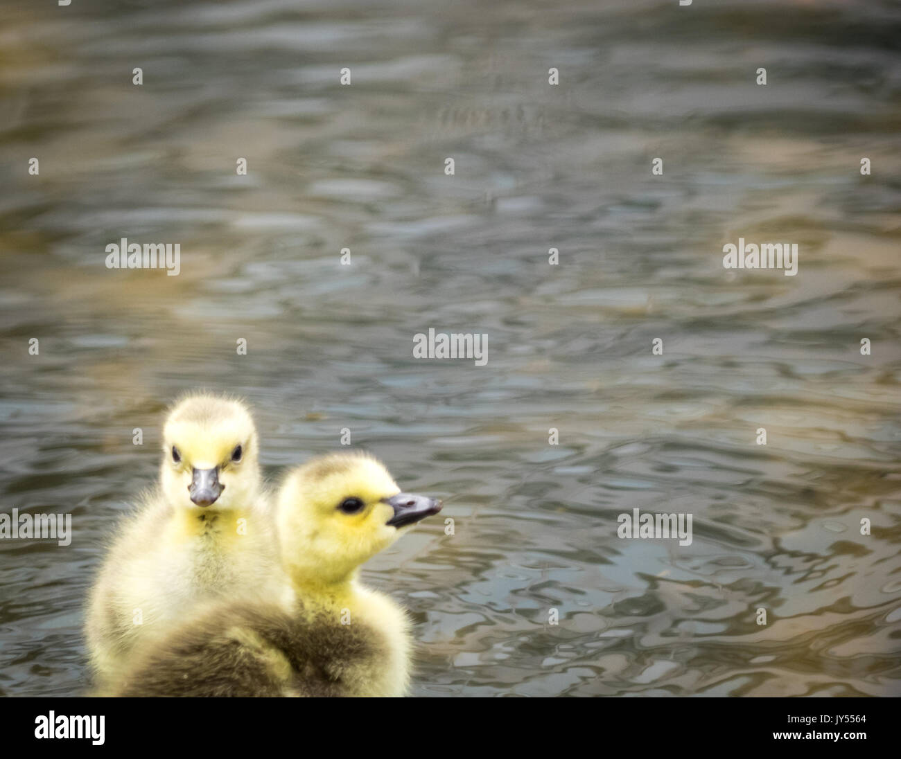 A couple of cute, fuzzy day-old Canada geese goslngs (Branta canadensis) wading in a shallow pond at Century Park - Stock Image