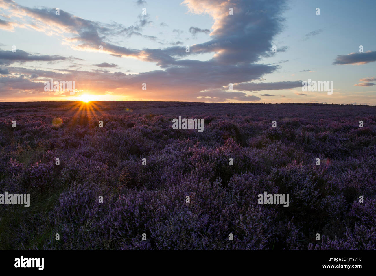 A beautiful sunset over the landscape of purple Heather (Calluna vulgaris) near the Hole Of Horcum in the North - Stock Image