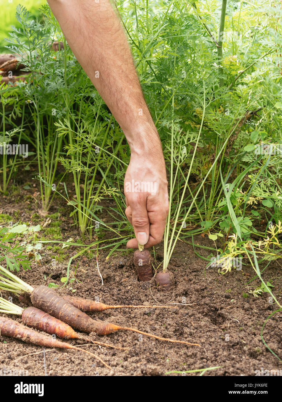 Gardener harvesting purple carrots - Stock Image