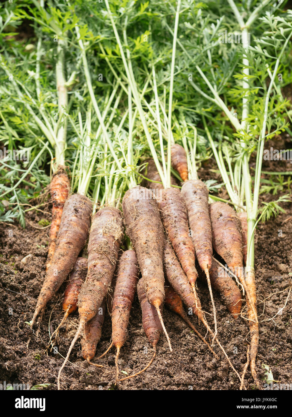 Freshly harvested organic purple carrots on soil - Stock Image