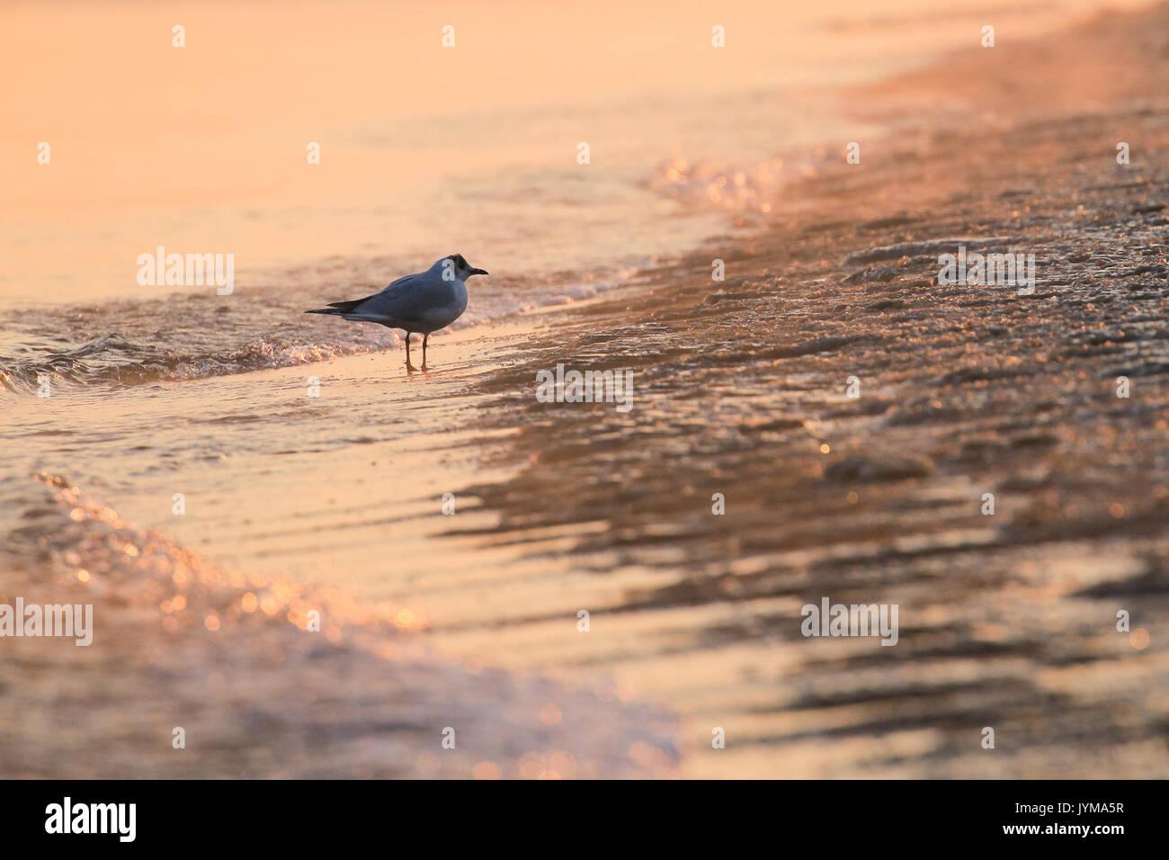 Sea gull adult