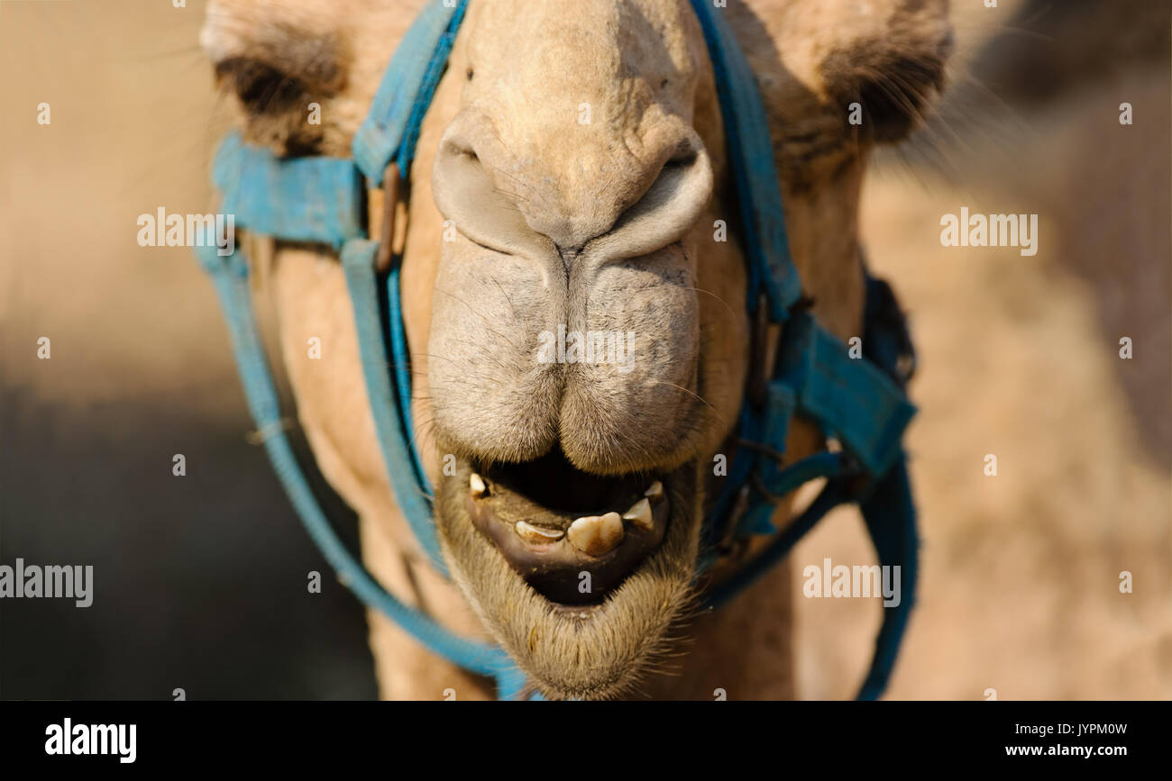 camel with funny face stock photos camel with funny face stock images alamy. Black Bedroom Furniture Sets. Home Design Ideas