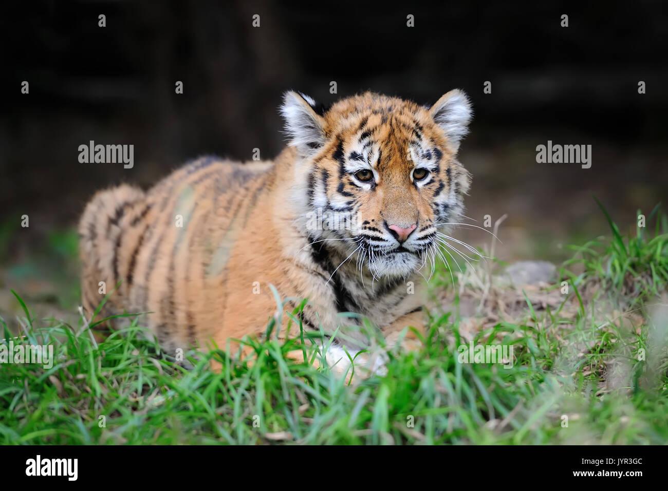 Baby Bengal Tiger Cub Portrait Stock Photos & Baby Bengal ... Cute Siberian Tiger Cubs