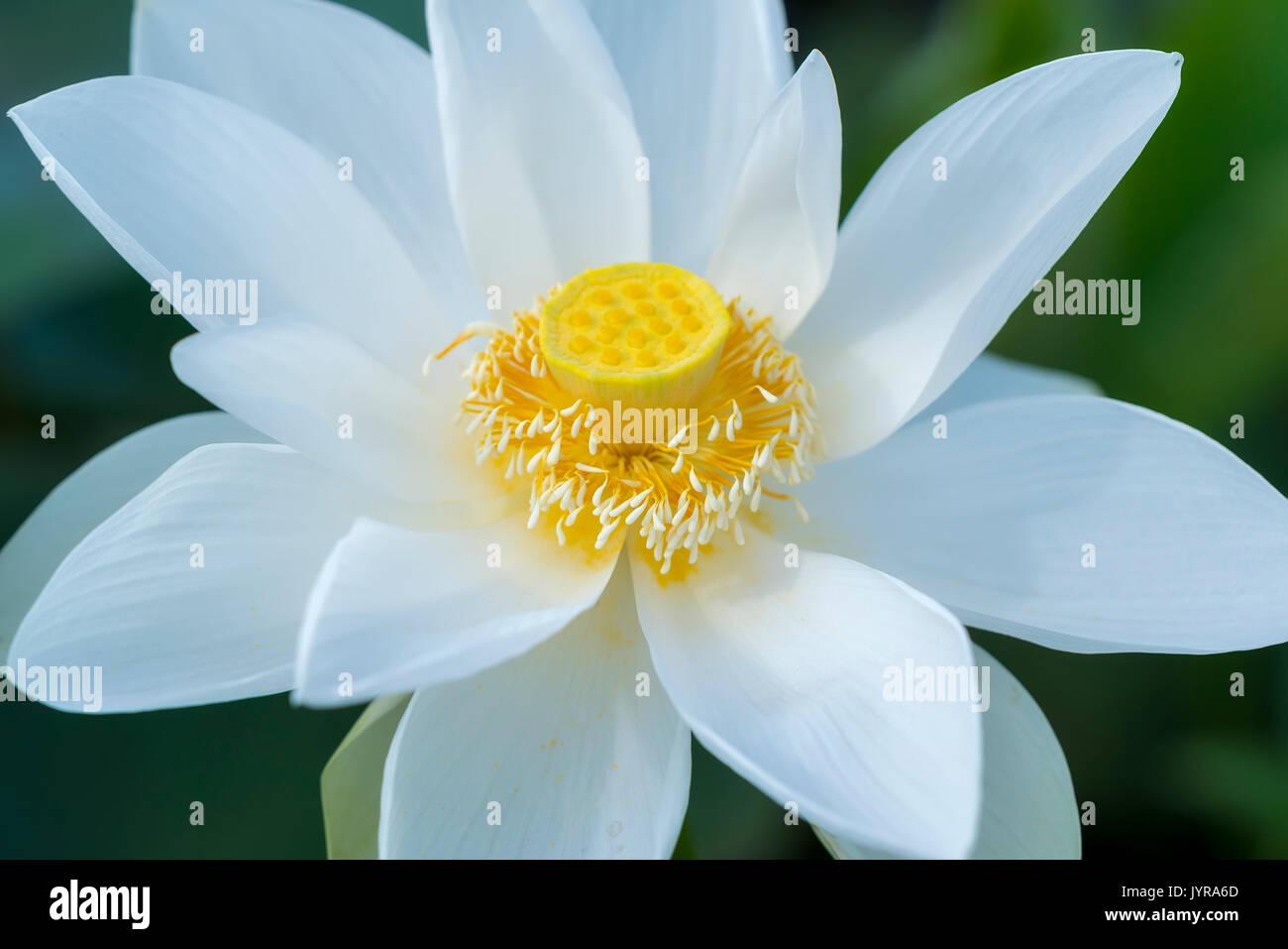 Lotus Flower Stamen Stock Photos Amp Lotus Flower Stamen