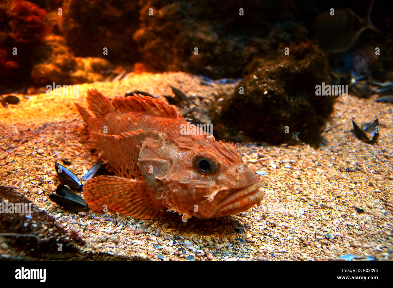 red-scorpionfish-scorpaena-scrofa-lying-