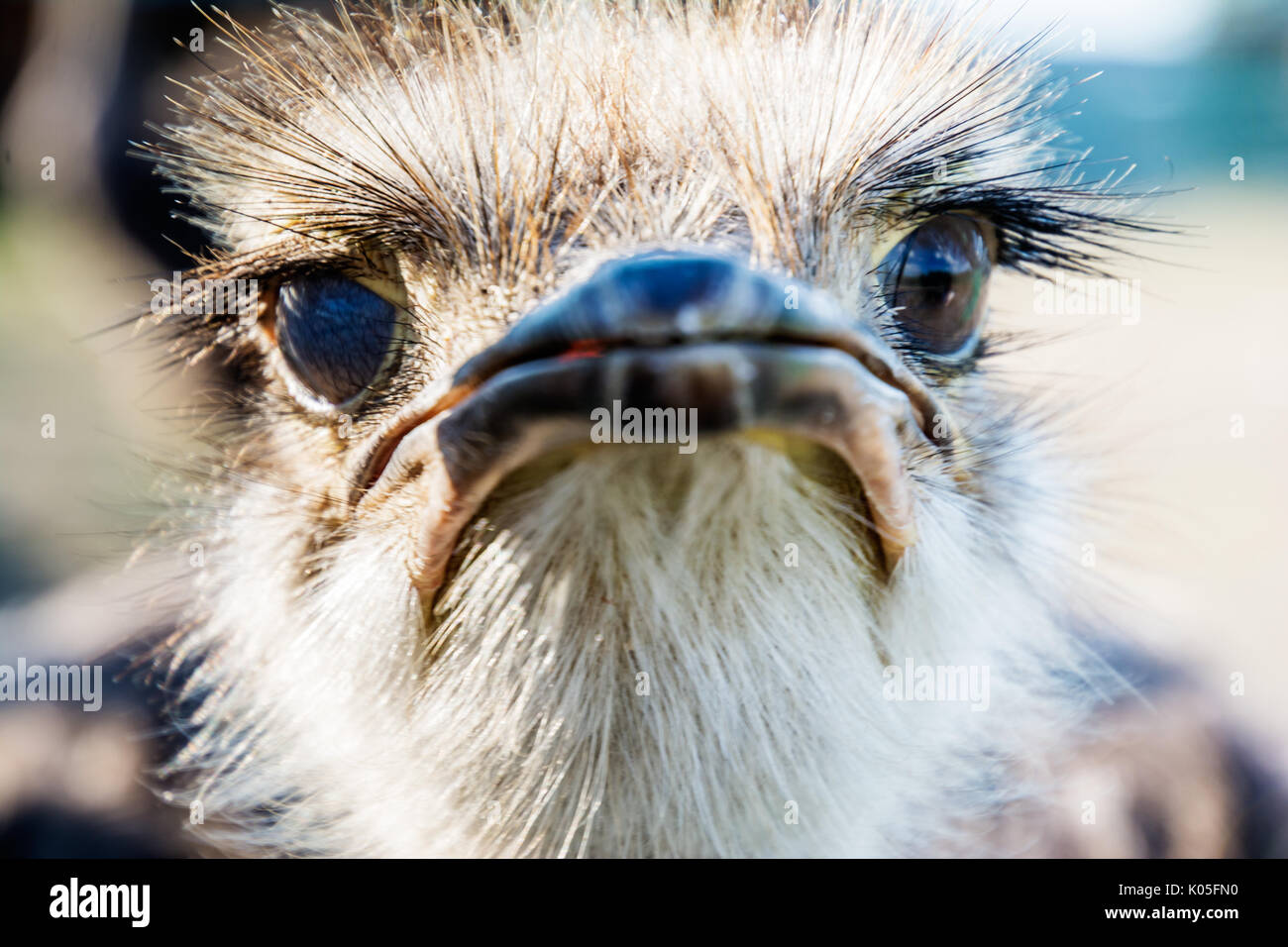 Wild funny ostrich portrait, focus on eyes - Stock Image