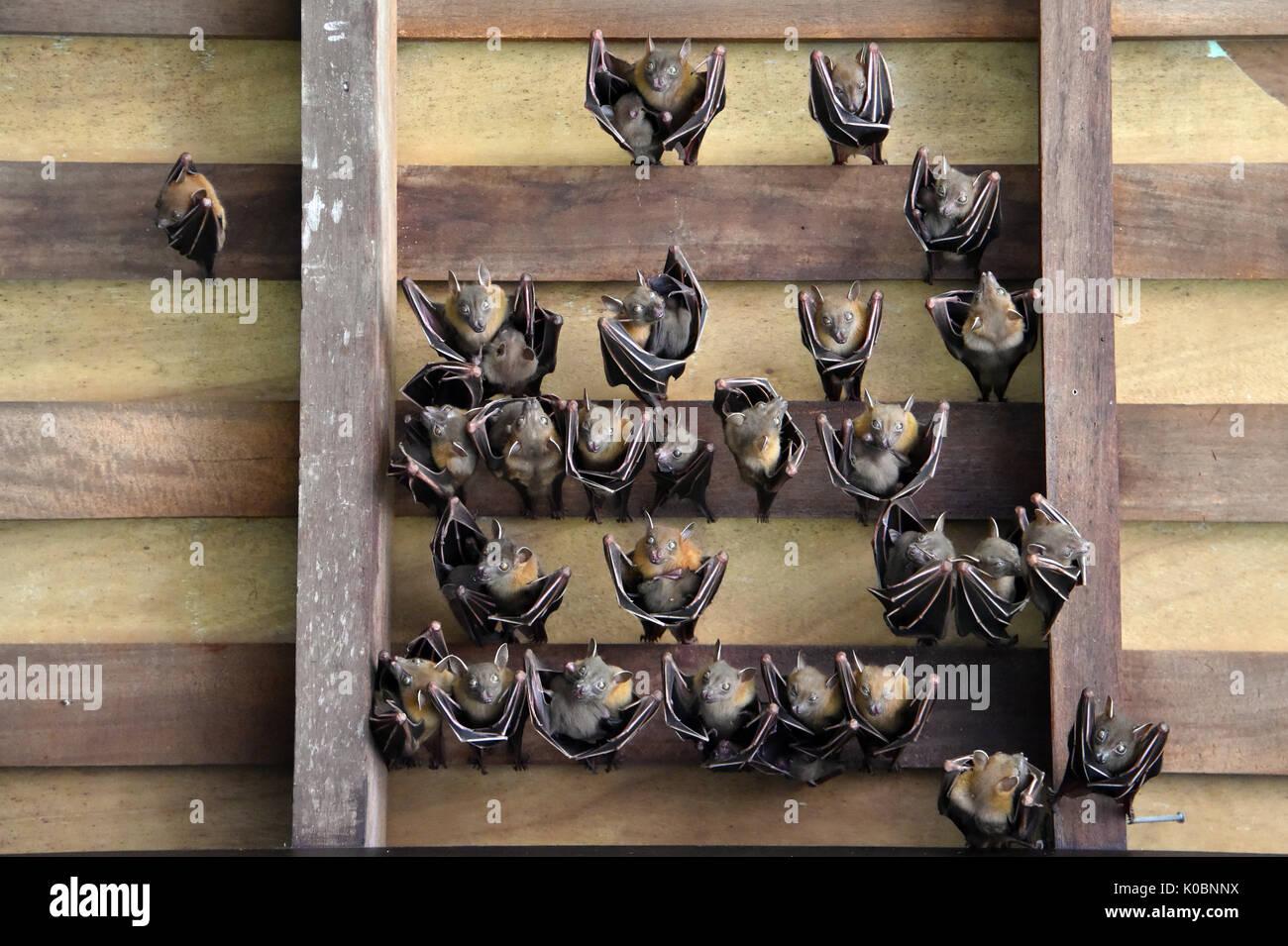 Lesser Dog-faced Fruit Bat - Stock Image