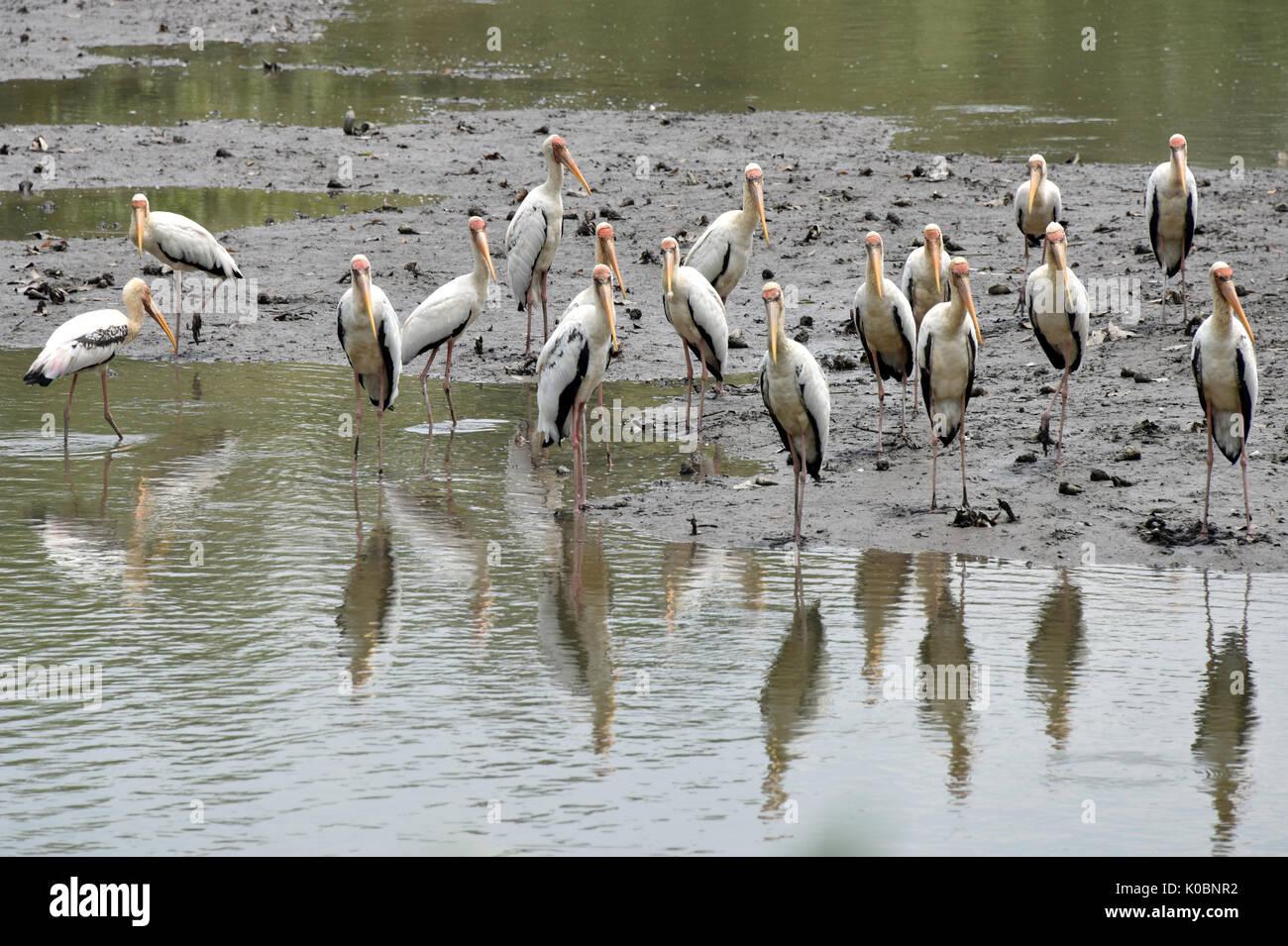 Milky Stork - Stock Image