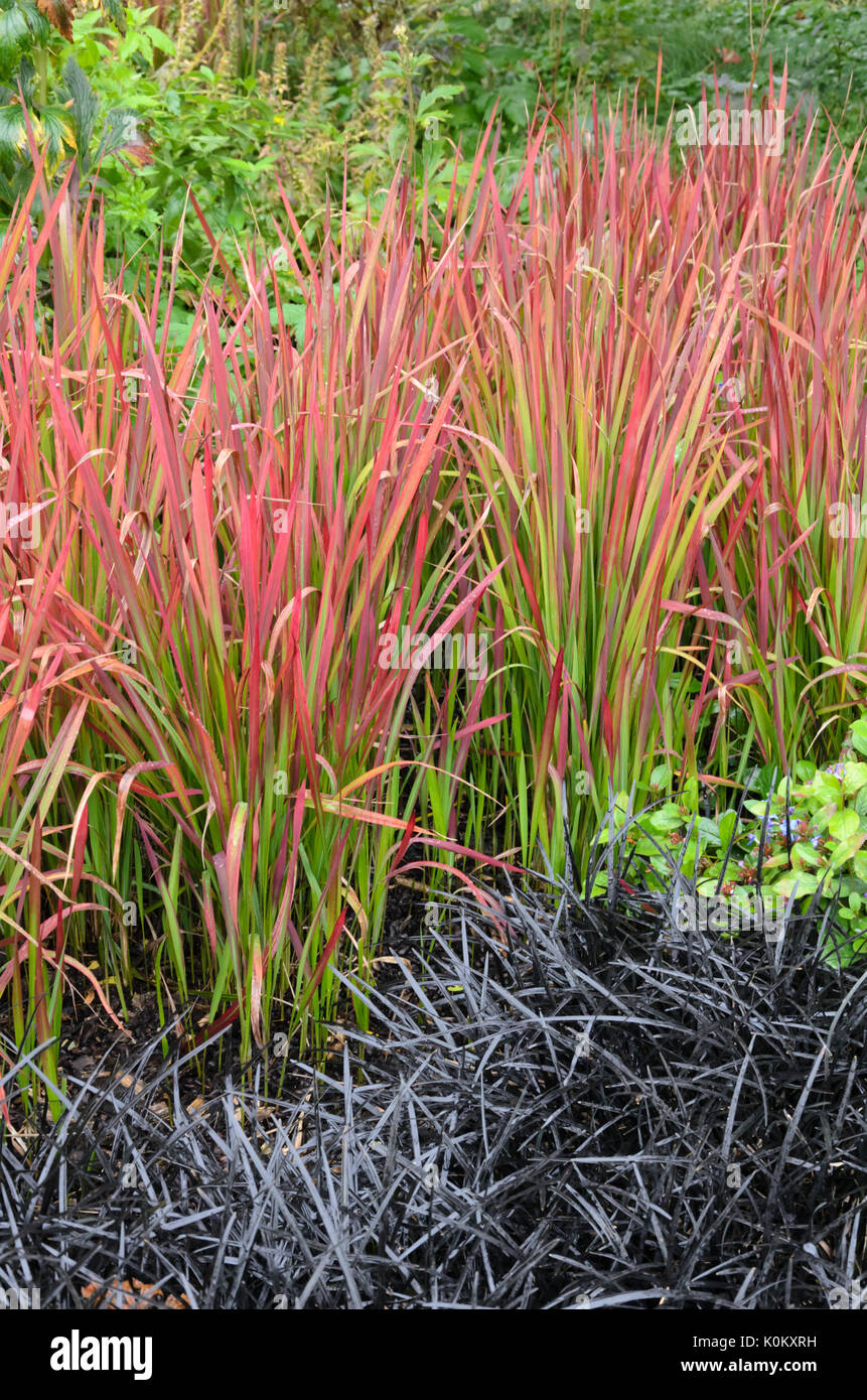 Imperata red stock photos imperata red stock images alamy - Imperata cylindrica red baron ...