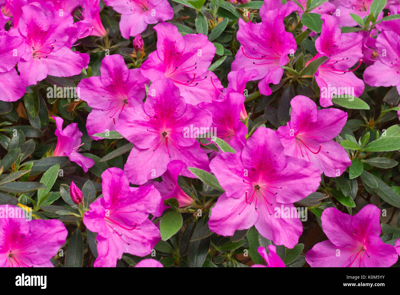 rhododendron simsii stock photos rhododendron simsii stock images alamy. Black Bedroom Furniture Sets. Home Design Ideas