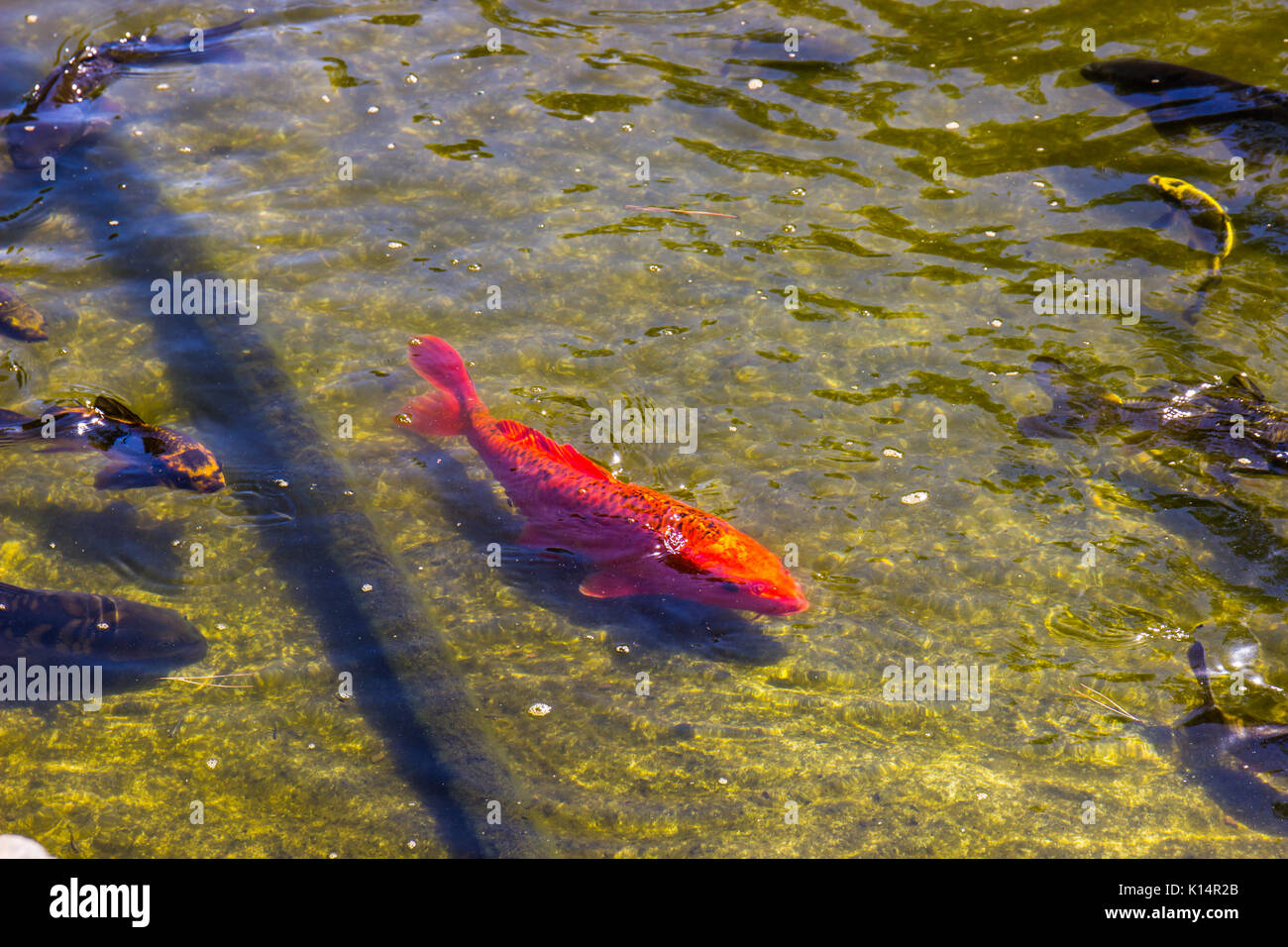 Fish types stock photos fish types stock images alamy for Decorative pond fish
