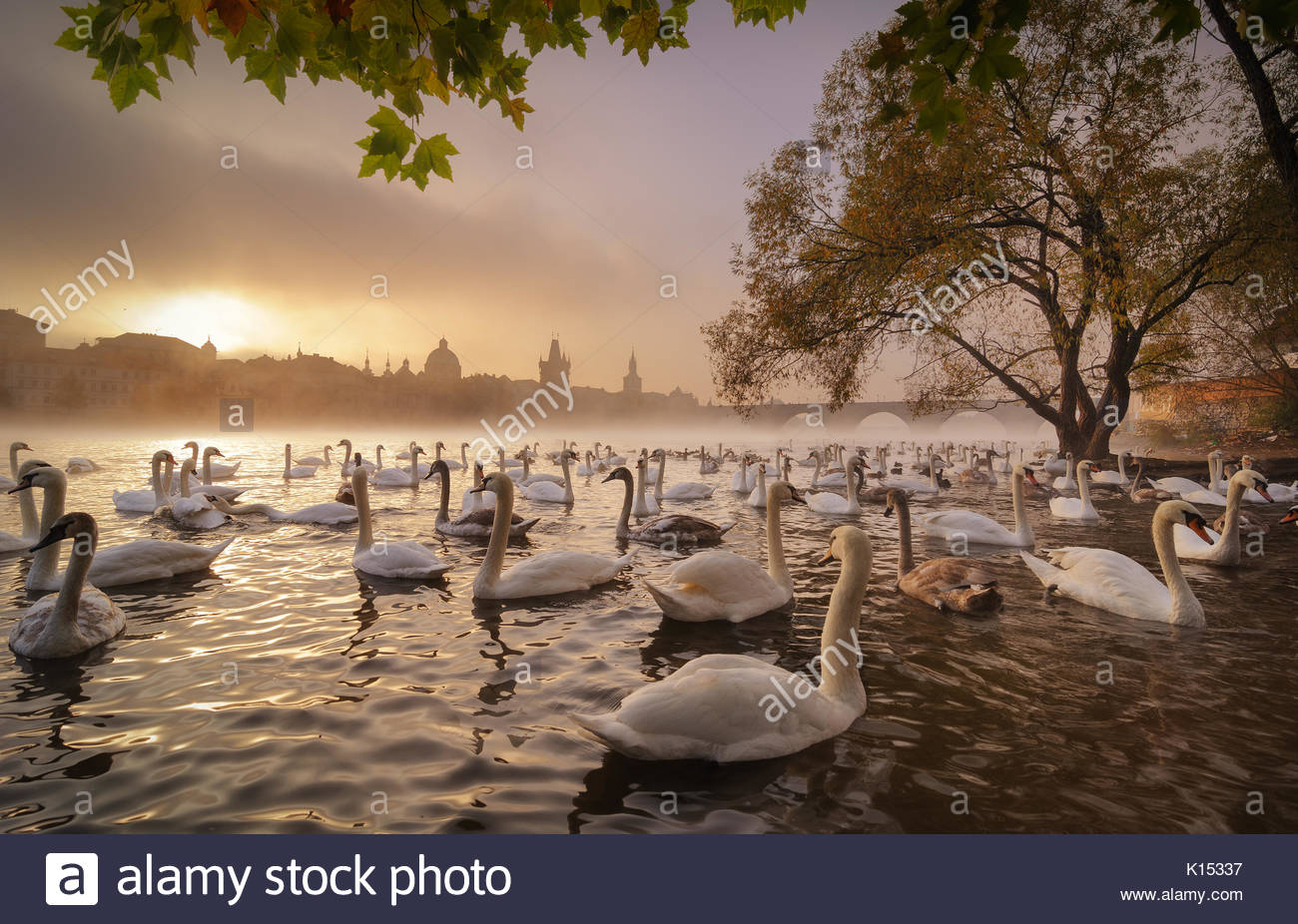 Amaying morning sunrise with swans near Charles bridge, Prague, Czech republic - Stock Image