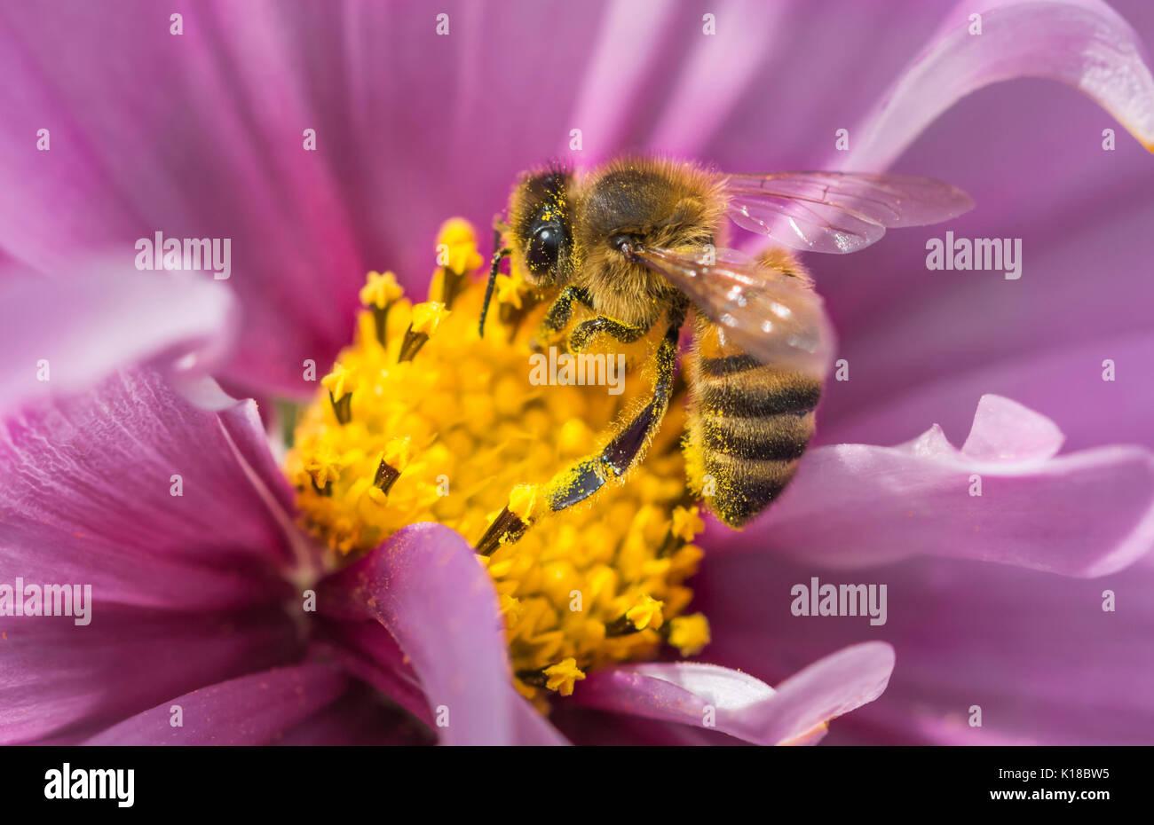 european-honey-bee-apis-mellifer-on-a-co