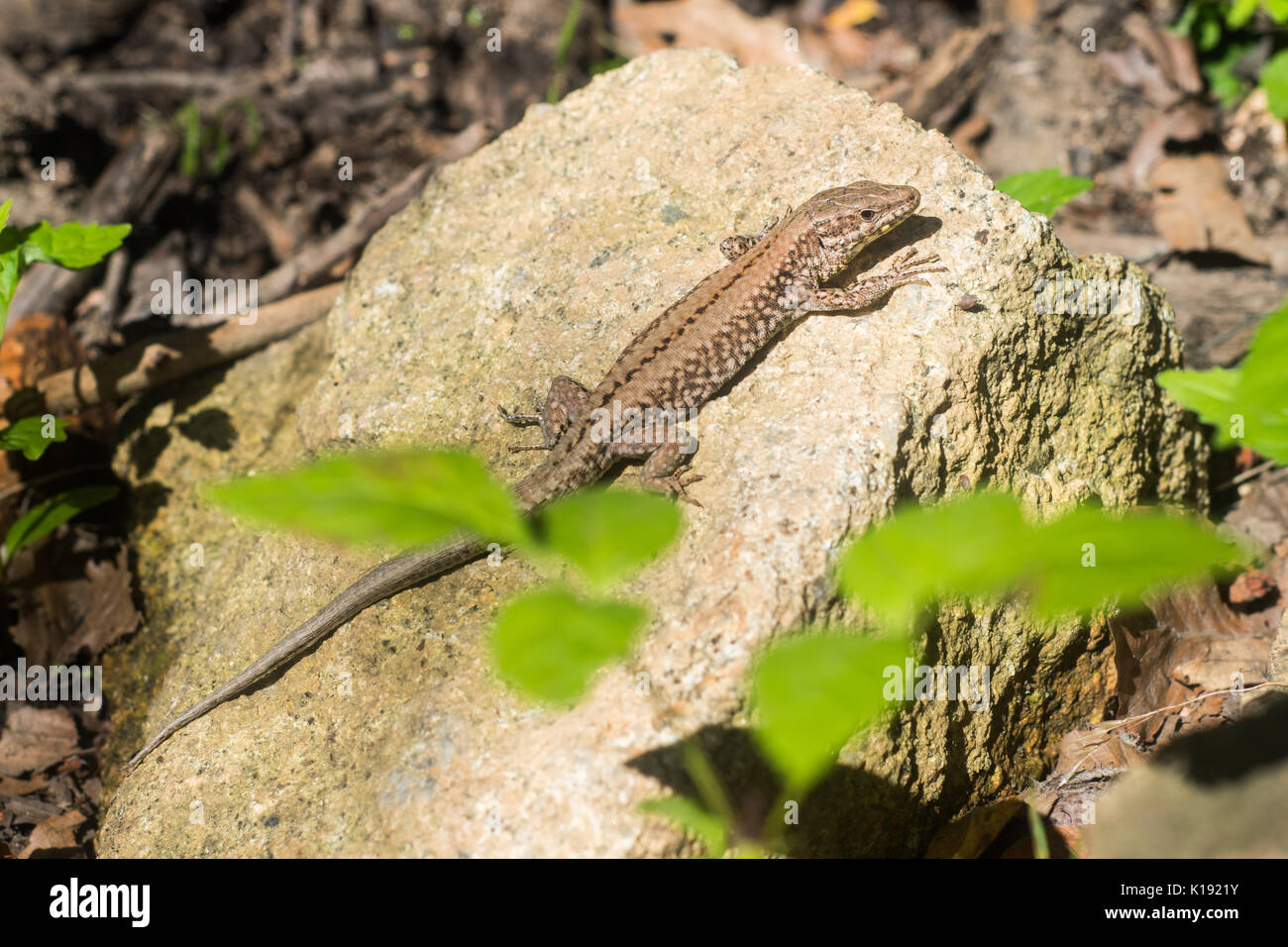 Beautiful lizard in Montseny (Catalonia) - Stock Image