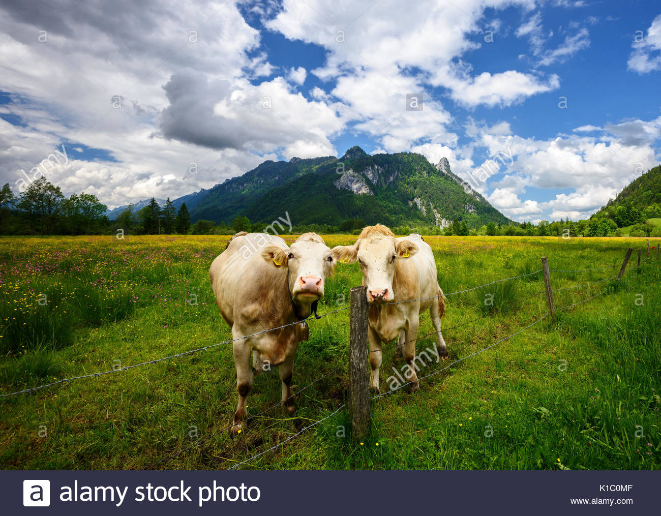 Idyllic Beautiful landscape in the Alps with cows grazing in fresh green meadows withblooming flowers, typical countryside - Stock Image