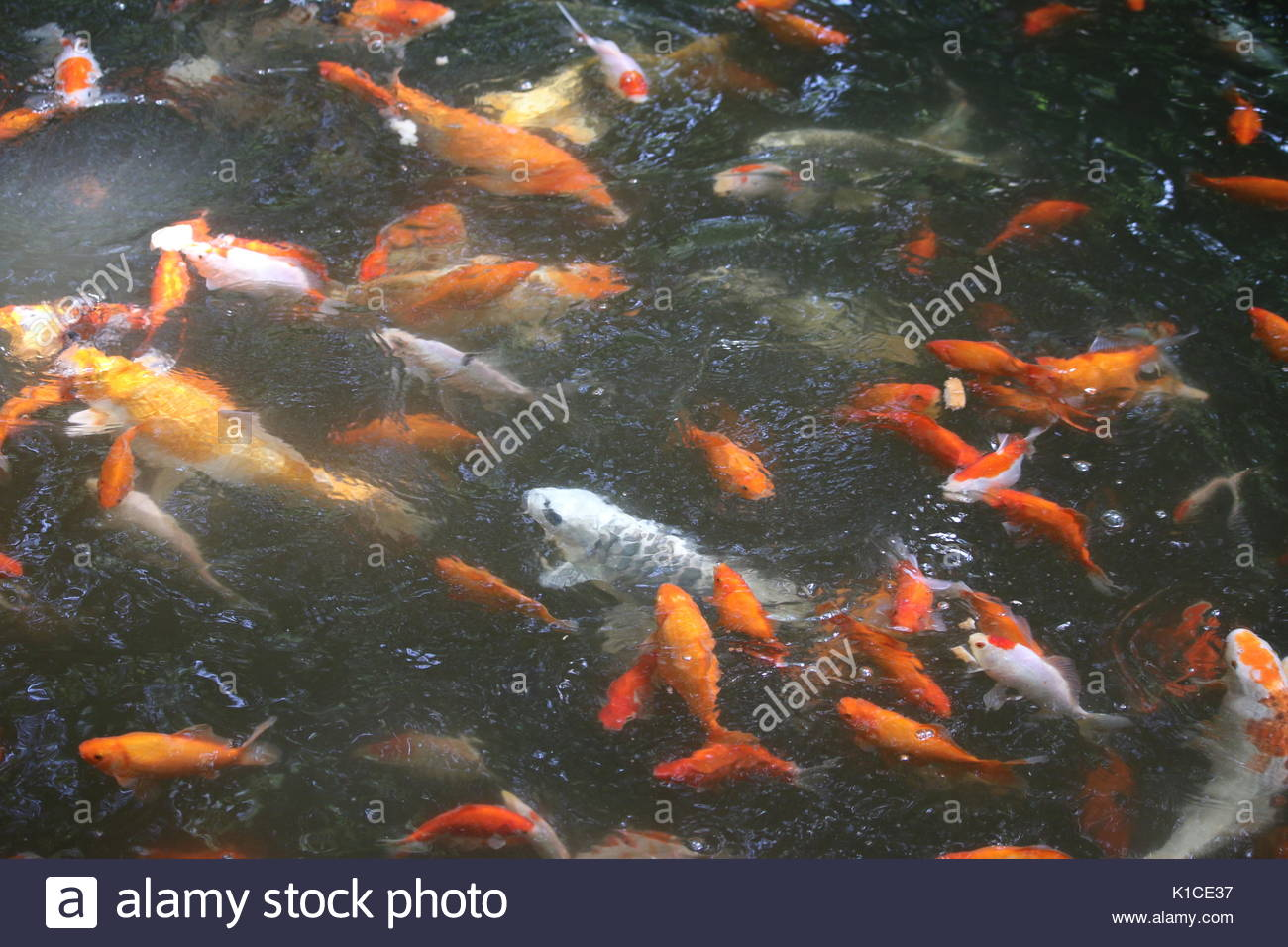 Orange white multi colored koi carp stock photos orange for Orange koi carp