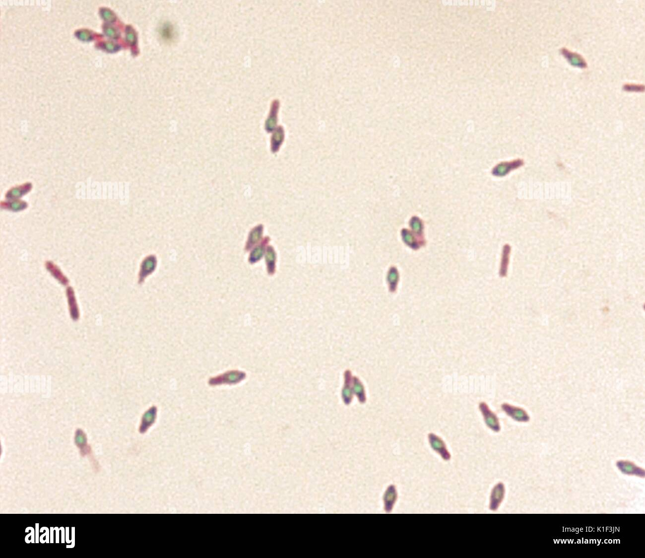 clostridium botulinum stock photos amp clostridium botulinum
