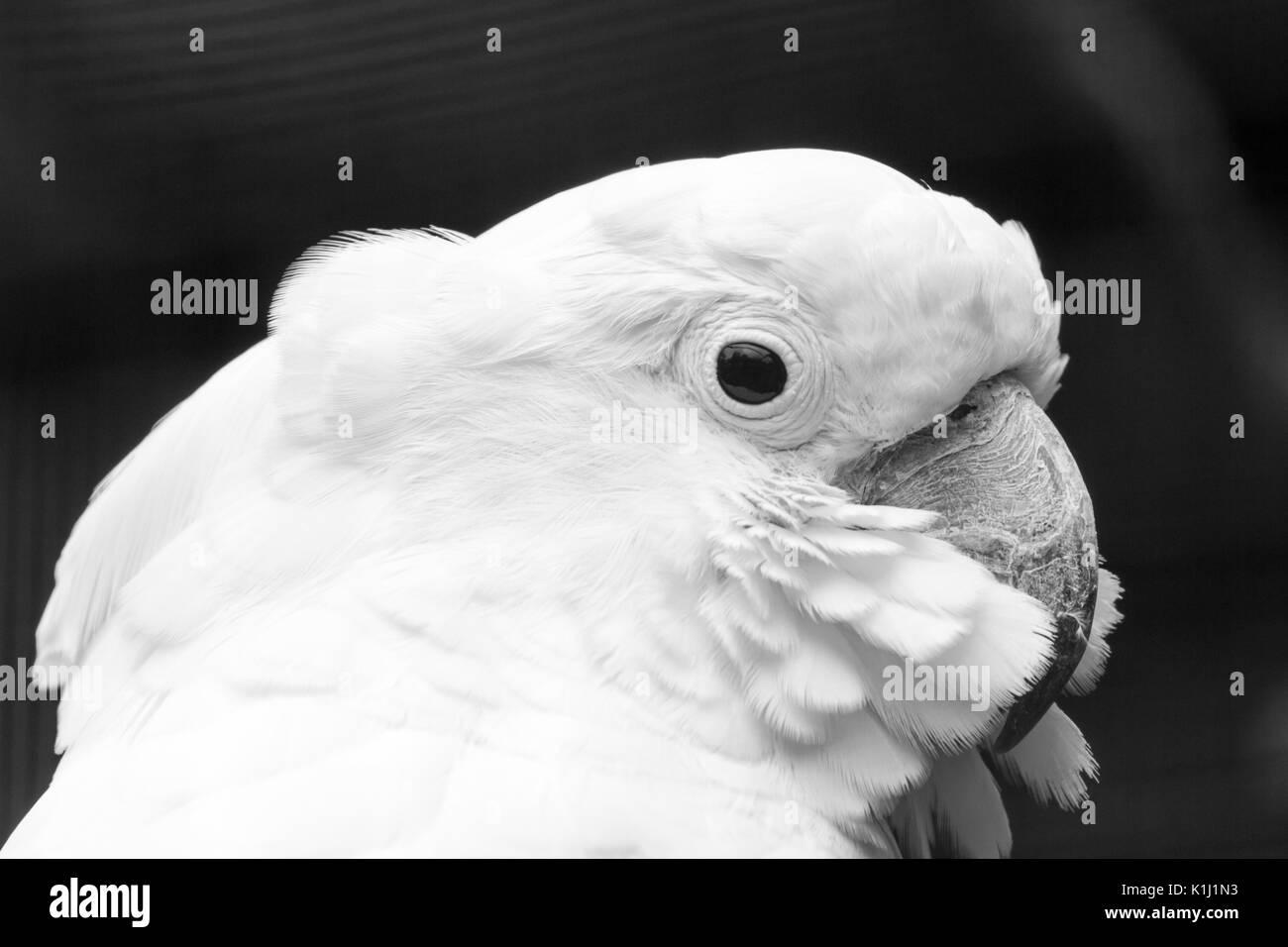 how to make a cockatoo