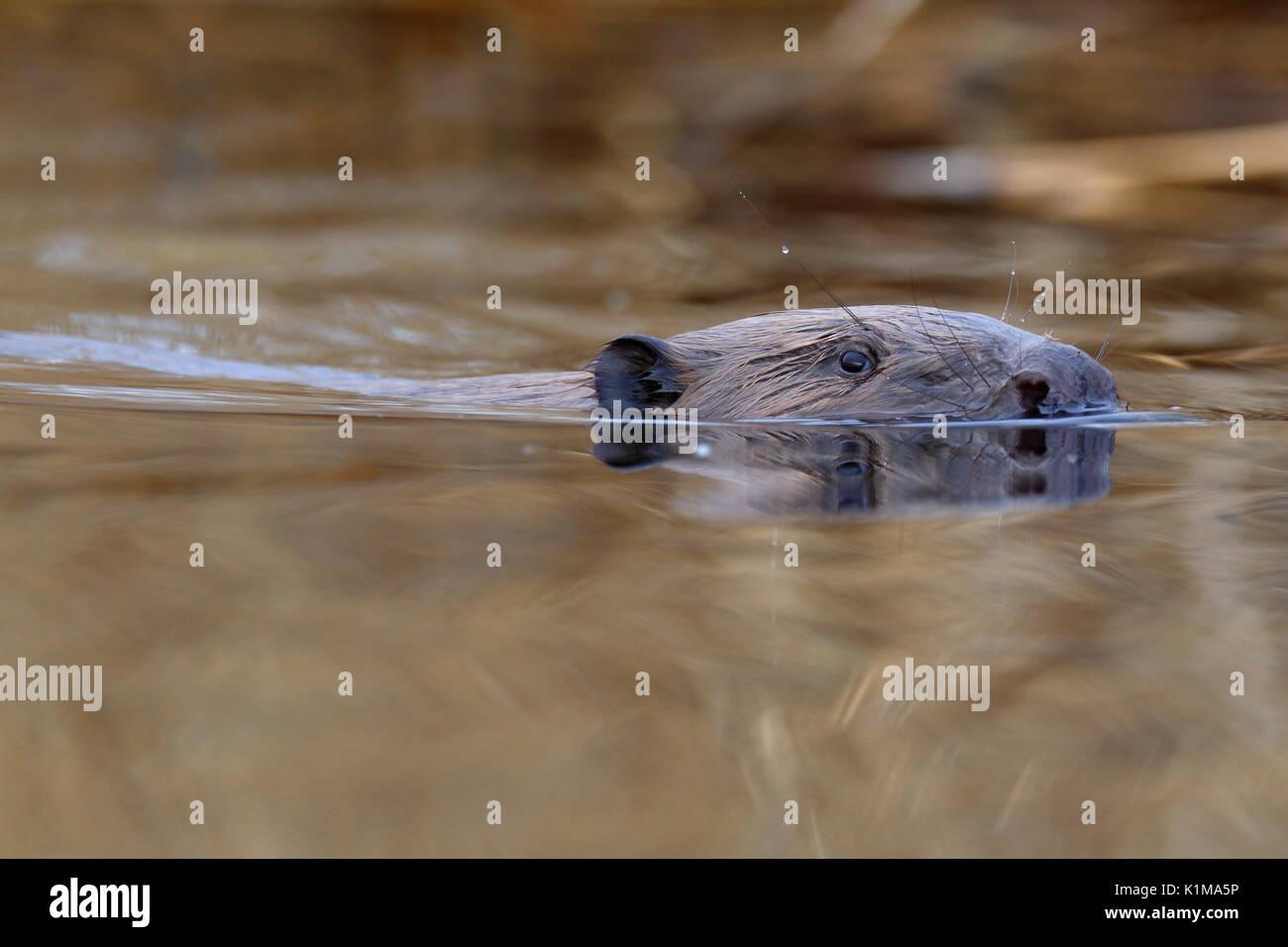 European beaver (Castor fiber) in water, portrait, Naturpark Flusslandschaft Peenetal, Mecklenburg-Western Pomerania, - Stock Image