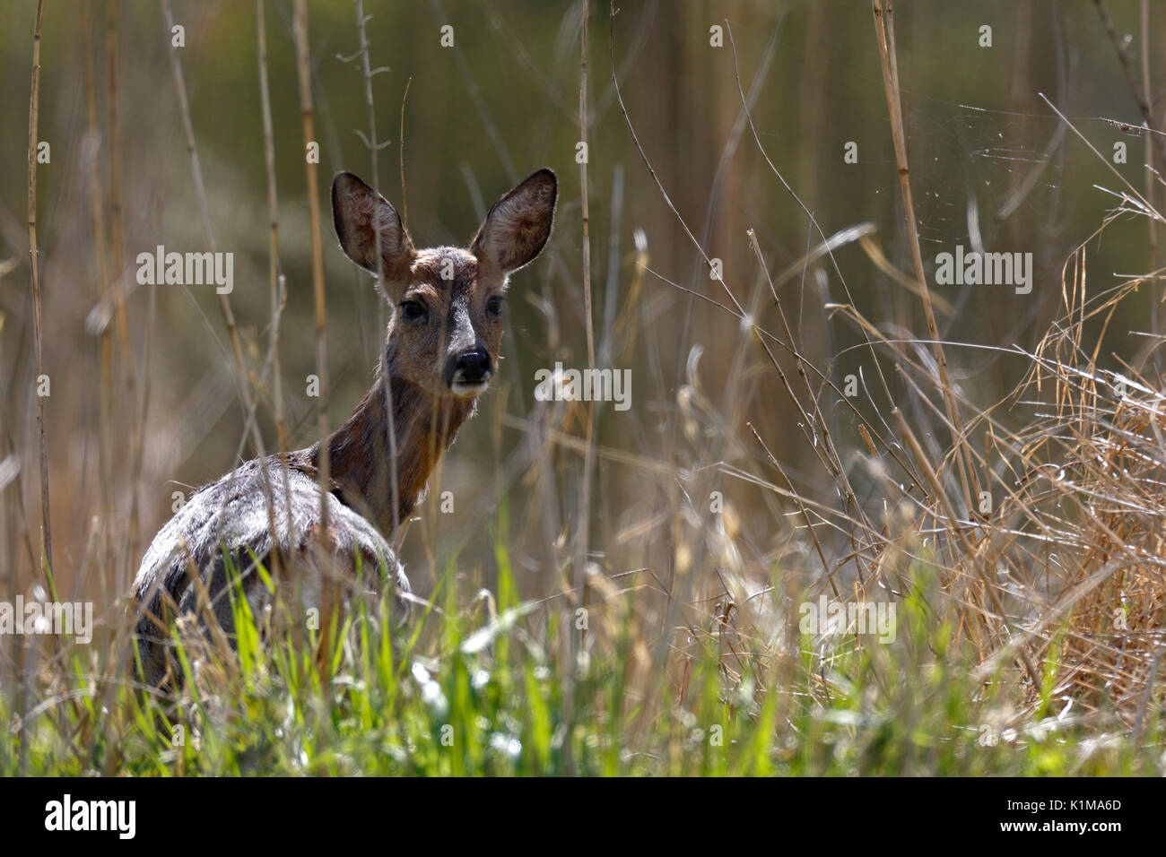 Alert deer (Capreolus capreolus), backlit, Naturpark Flusslandschaft Peenetal, Mecklenburg-Western Pomerania, Germany - Stock Image